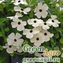 """Тунбергия крылатая (Thunbergia alata) """"Susie"""" (white black eye) raw 2 гр."""