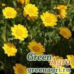 Хризантема многостебельная (Chrysanthemum multicaule) (golden yellow) 20 гр.