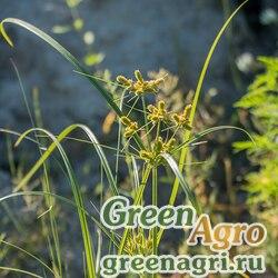 Сыть скученная (Cyperus glomeratus) 10 гр.