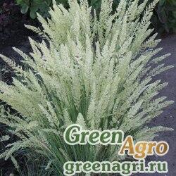 Тонконог сизый (Koeleria glauca) 3 гр.