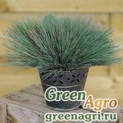 "Булавоносец седой (Corynephorus canescens) ""Spiky Blue"" (blue green) multi-pelleted 100 шт."