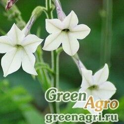 Табак заостренный (Nicotiana acuminata) (white) 0.4 гр.