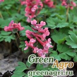 Хохлатка трансильванская (Corydalis transsilvanica) 0,5 гр.
