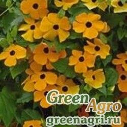 "Тунбергия крылатая (Thunbergia alata) ""Susie"" (orange black eye) raw 2 гр."