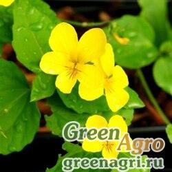 Фиалка восточная (Viola orientalis) 12 гр.