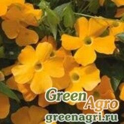 "Тунбергия крылатая (Thunbergia alata) ""Susie"" (orange clear) raw 2 гр."