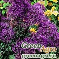 "Трахелиум синий (Trachelium caeruleum) ""Jemmy"" (deep violet) raw 1000 шт."