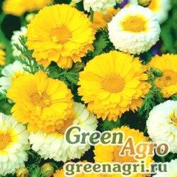Хризантема венечная (Chrysanthemum coronarium) (mix) 100 гр.