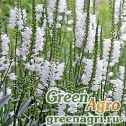 Физостегия виргинская (Physostegia virginiana) (white) 5 гр.