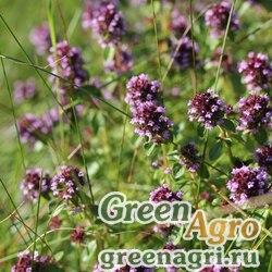 Тимьян блошницевидный (Thymus pulegoides) (pink-purple) 10 гр.