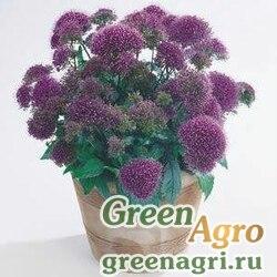 "Трахелиум синий (Trachelium caeruleum) ""Devotion"" (purple) pelleted 1000 шт."