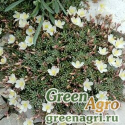 Талинум седумовидный (Talinum okanoganense) 0.1 гр.