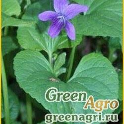 Фиалка Алиссовой (Viola alissoviana) 0.1 гр.