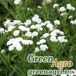 "Тысячелистник птармика (Achillea ptarmica) ""The Pearl"" (white) 10 гр."