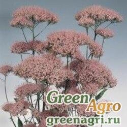 "Трахелиум синий (Trachelium caeruleum) ""Jemmy"" (lilac-rose) raw 1000 шт."