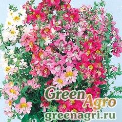 "Схизантус визетонский (Schizanthus x wisetonensis) ""Angel Wings"" (mix) 30 гр."