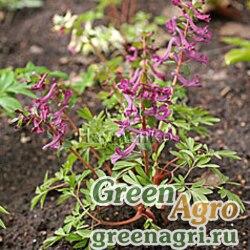 Хохлатка кавказская ф. красная (Corydalis caucasica f.rubra) 1 гр.