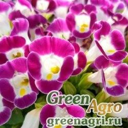 "Торения Фурнье (Torenia fournieri) ""Kauai F1"" (magenta) pelleted 1000 шт."