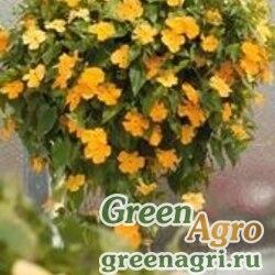 "Тунбергия крылатая (Thunbergia alata) ""Susie"" (yellow clear) raw 2 гр."