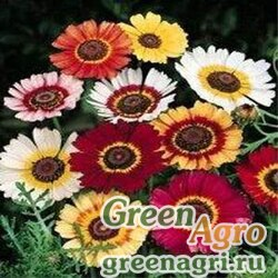 "Хризантема килеватая (Chrysanthemum carinatum) ""Rainbow"" (mix) 100 гр."