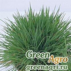 """Тонконог сизый (Koeleria glauca) """"Coolio"""" (green) multi-pelleted 1000 шт."""