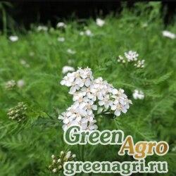Тысячелистник обыкновенный (Achillea millefolium) 55 гр.