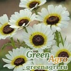 "Хризантема килеватая (Chrysanthemum carinatum) ""Polar star"" (white) 50 гр."