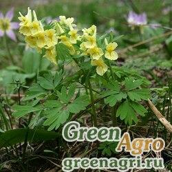 Хохлатка прицветниковая (Corydalis bracteata) 1 гр.