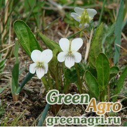Фиалка Патрена (Viola patrinii) 1 гр.