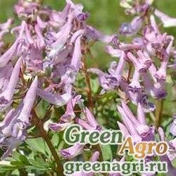 Хохлатка Маршалла (Corydalis marschalliana) (лиловый) 1 гр.