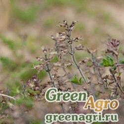 Тимьян ползучий (Thymus serpyllum) (purple) 10 гр.