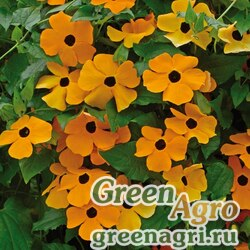 "Тунбергия крылатая (Thunbergia alata) ""Sunrise"" (orange) 5 г"