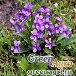 Фиалка маньчжурская (Viola mandshurica) 1.2 гр.
