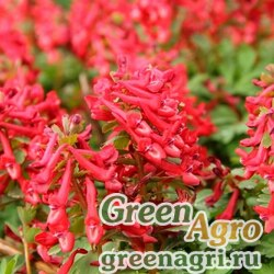 Хохлатка Маршалла (Corydalis marschalliana) (красный) 1 гр.