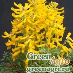 Хохлатка скальная (Corydalis rupestris) 1 гр.
