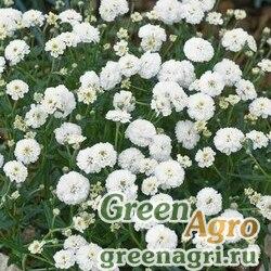 """Тысячелистник птармика (Achillea ptarmica) """"Noblessa"""" (white) raw 100 шт."""