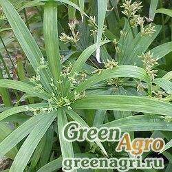 Сыть раскидистая (Cyperus diffusus) 0.8 гр.
