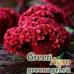 "Целозия гребенчатая (Celosia cristata) ""Jessica"" (cherry-red) 1 гр."