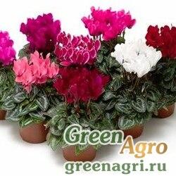 """Цикламен персидский (Cyclamen persicum) """"Dancerella F1"""" (pastel mix) raw 500 шт."""