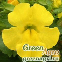 "Губастик гибридный (Mimulus x hybrida) ""Maximus F1"" (yellow) pelleted 1000 шт."