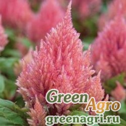 "Целозия метельчатая (Celosia plumosa) ""Geisha"" (salmon) 1.5 гр."