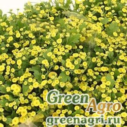 """Пиретрум девичий (Tanacetum parthenium) """"Amazone"""" (yellow) pelleted 1000 шт."""