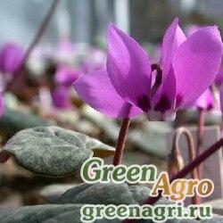 Цикламен ложногрузинский (Сyclamen pseudoibericum) 0.5 гр.
