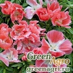 """Годеция прелестная (Godetia amoena) """"Aurora"""" (salmon orange) 1 г"""