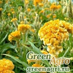 "Целозия гребенчатая (Celosia cristata) ""Jessica"" (golden yellow) 1 гр."