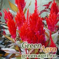 """Целозия метельчатая (Celosia plumosa) """"Forest Fire"""" (fiery) 50 гр."""