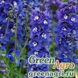 """Дельфиниум высокий (Delphinium elatum) """"Dasante F1"""" (blue) raw 100 шт."""