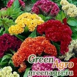 "Целозия гребенчатая (Celosia cristata) ""Jessica"" (mix) 1 гр."