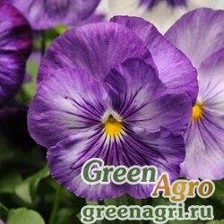 "Виола Виттрока (Viola wittrockiana) ""Delta F1"" (lavender shades) raw 1000 шт."
