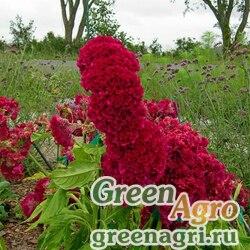 "Целозия гребенчатая (Celosia cristata) ""Toreador"" (scarlet) 15 гр."